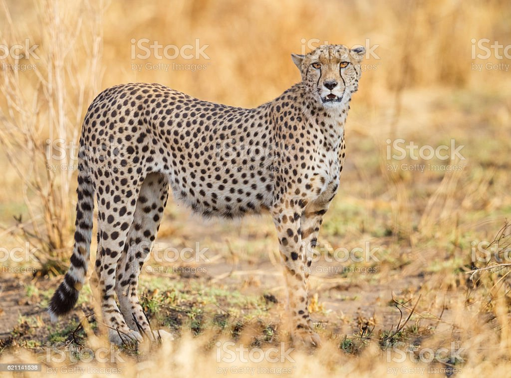 Cheetah in Serengeti National Park, Tanzania Africa stock photo