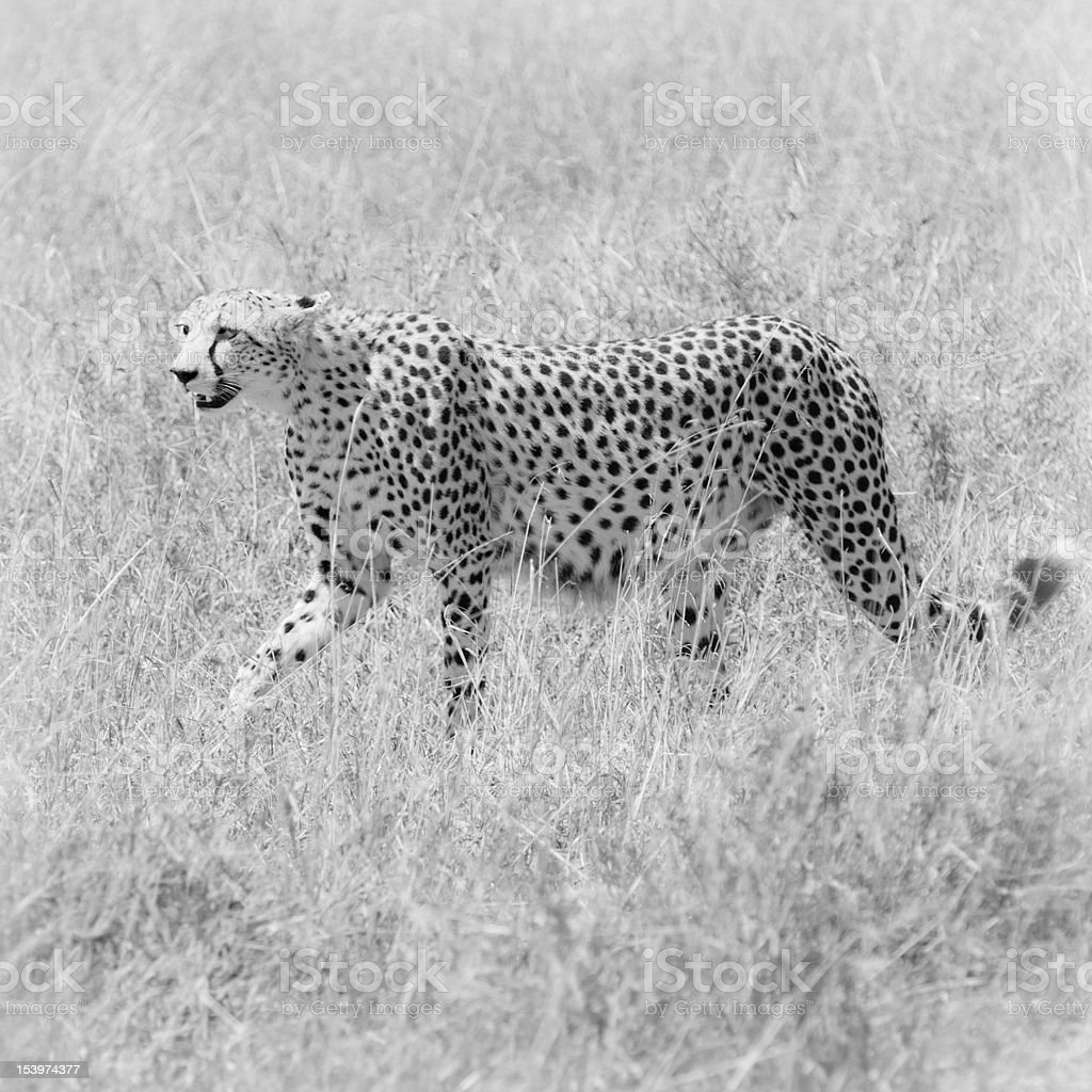 cheetah in the field royalty-free stock photo