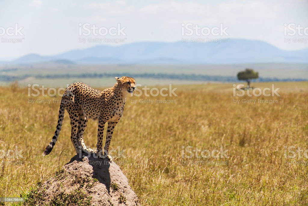 Cheetah in the middle of the savannah stock photo