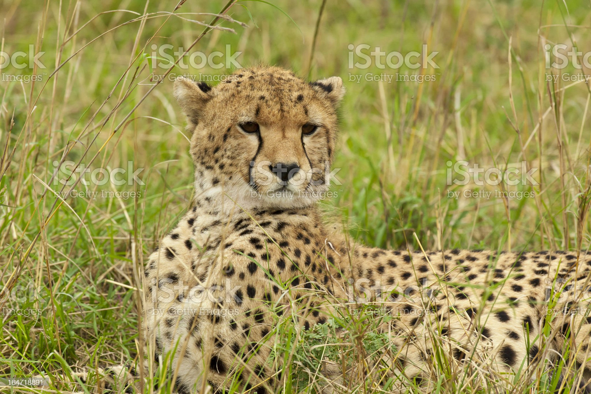Cheetah in the Savannah royalty-free stock photo