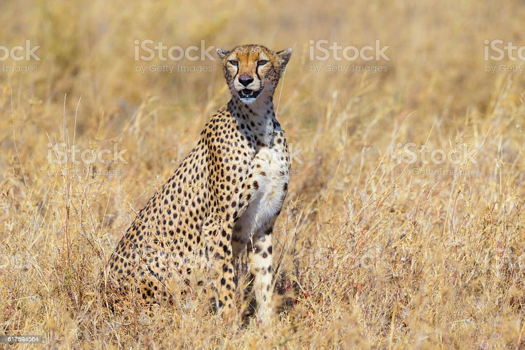 Cheetah in the Serengeti Savanna, Tanzania Africa stock photo