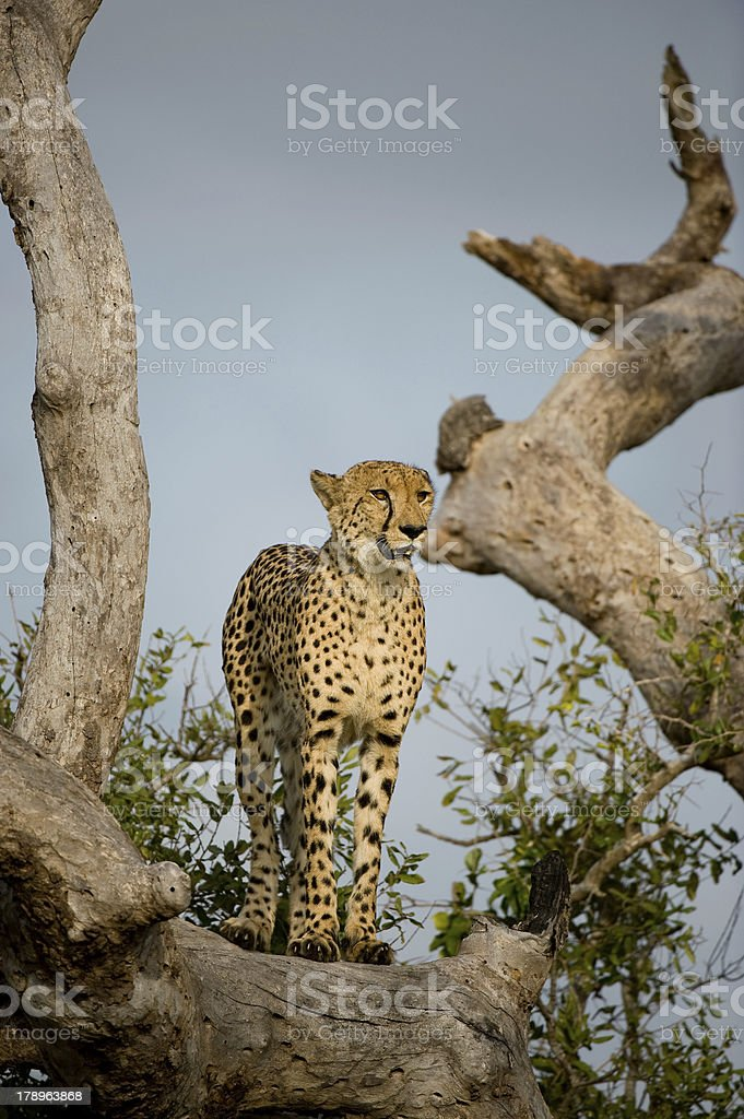 Cheetah in tree stock photo