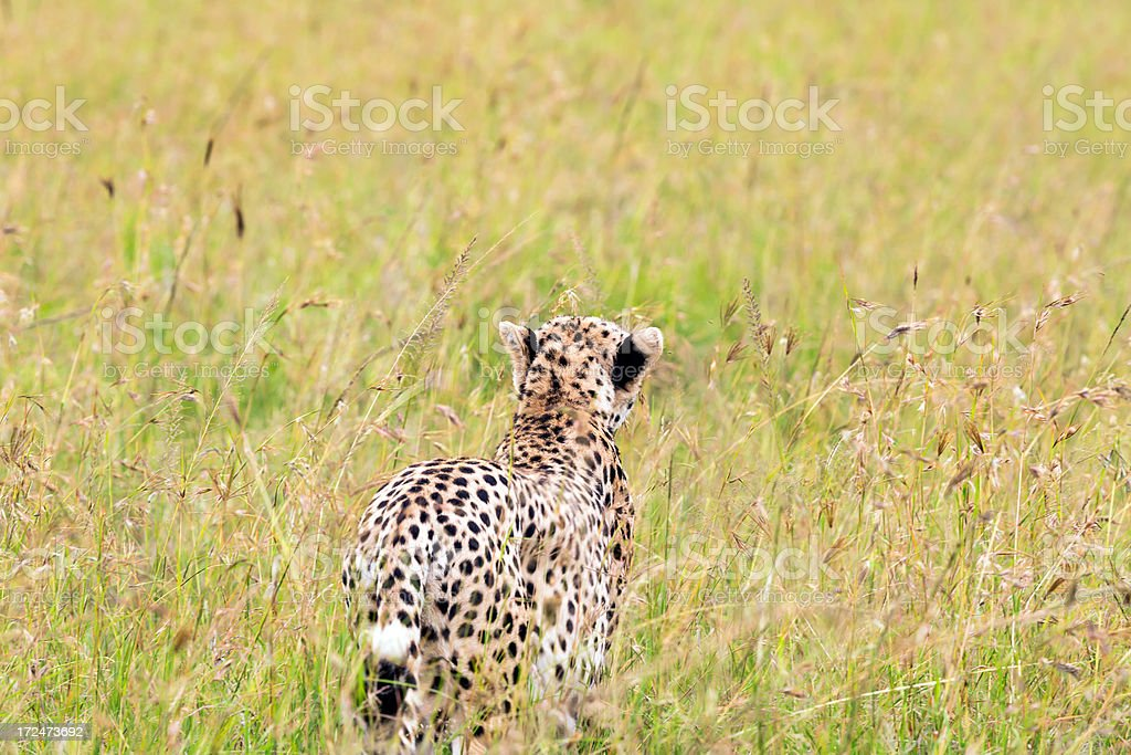 Cheetah is running to the bushes - camouflage royalty-free stock photo