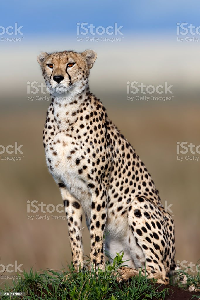 Cheetah Kakenya looking for food stock photo