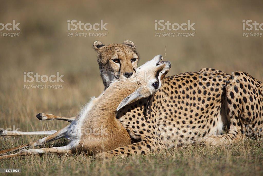 Cheetah kill stock photo