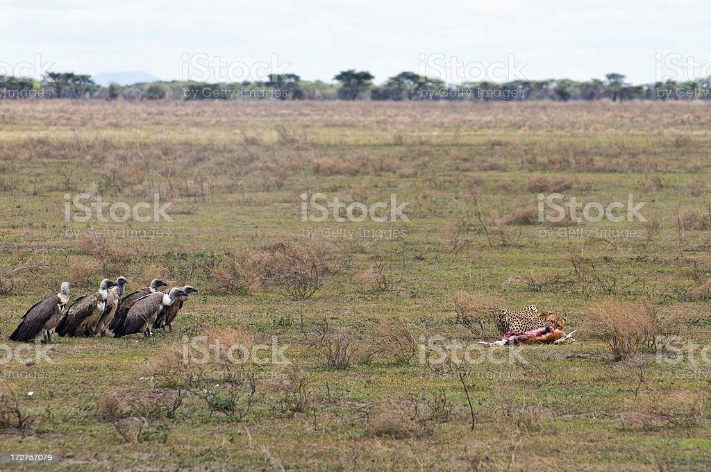 Cheetah Kill Series royalty-free stock photo