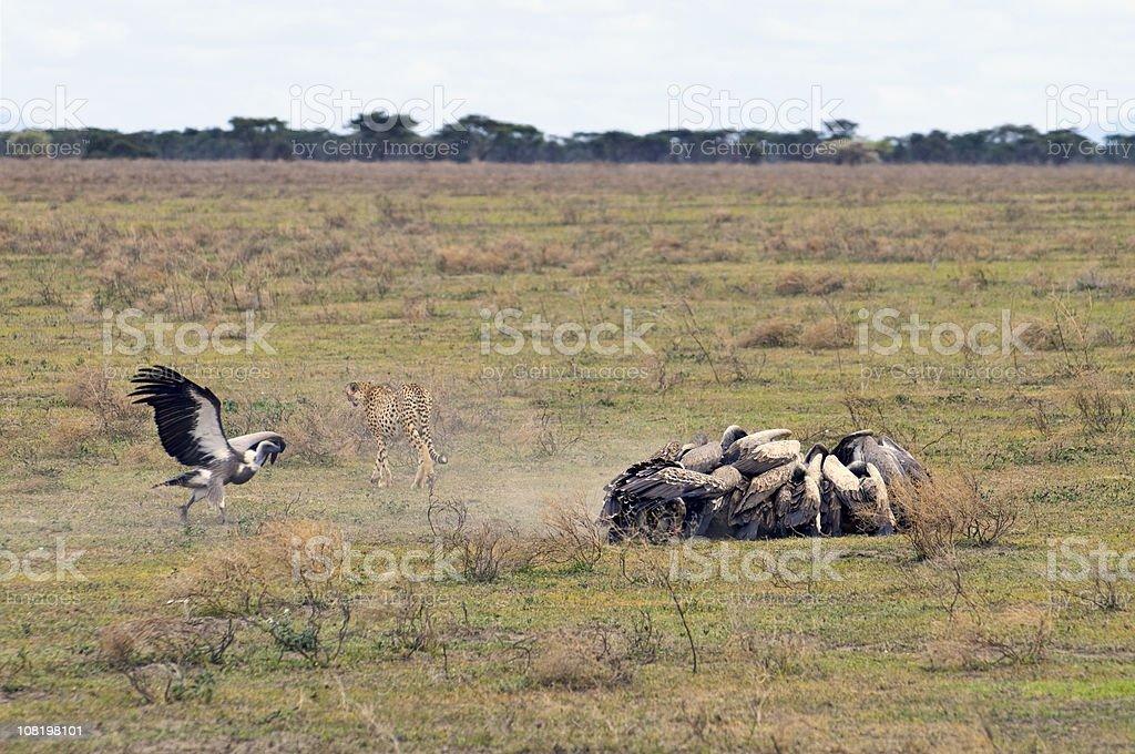 Cheetah Kills and Vultures Swarm royalty-free stock photo
