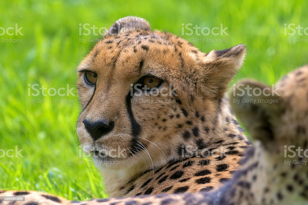 Cheetah Looking Around Closeup Portrait stock photo