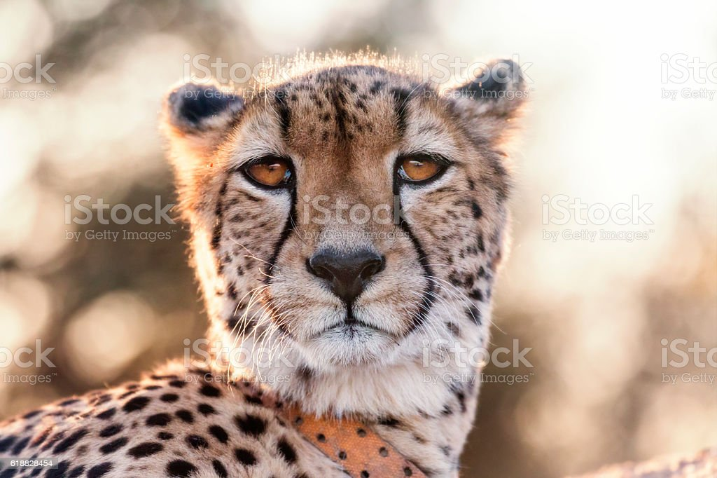 Cheetah looking at the camera stock photo