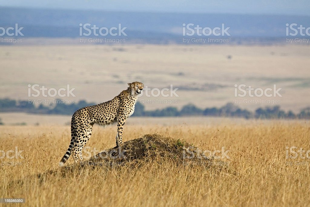 A cheetah looking for prey in the wild stock photo