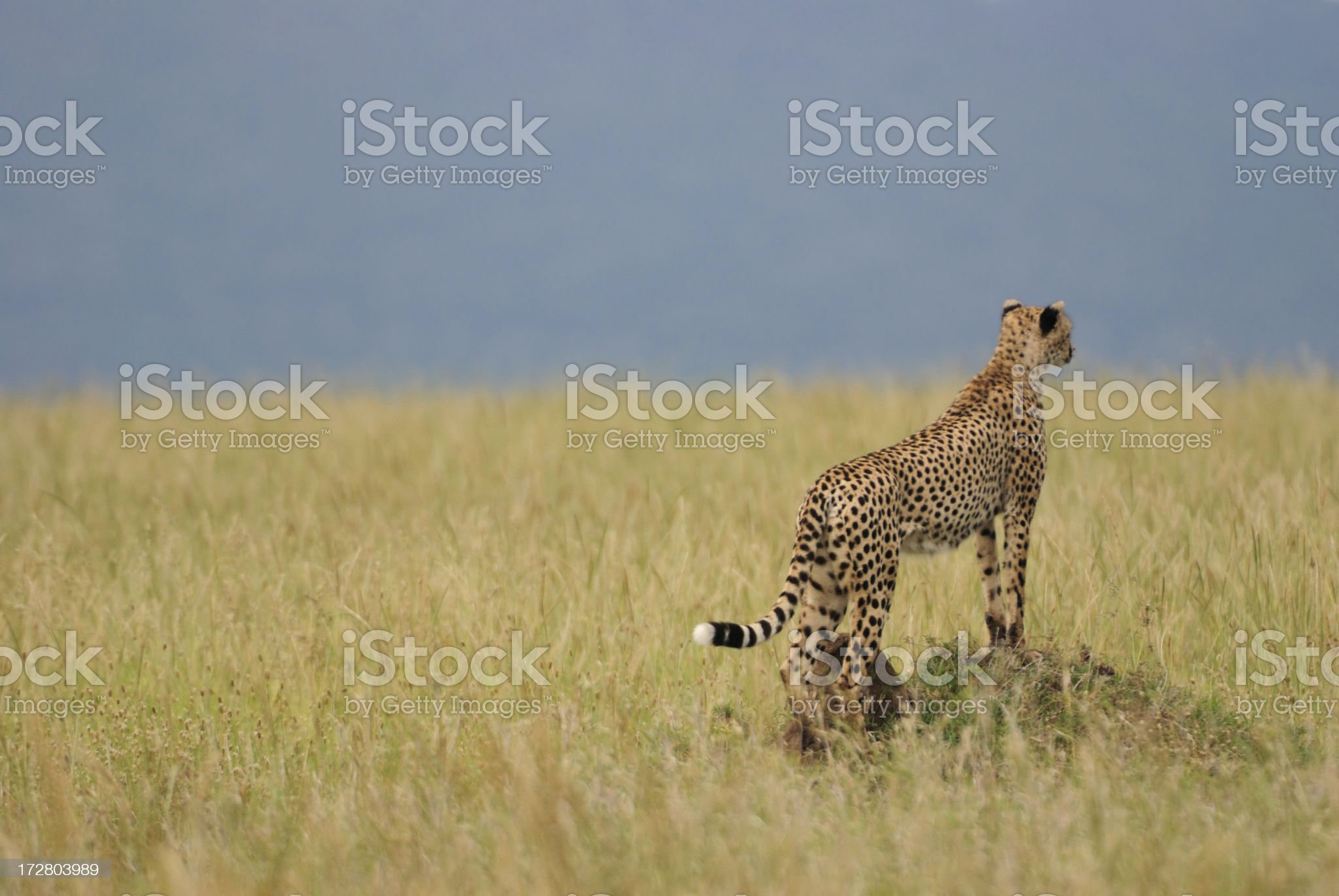cheetah looking out for prey royalty-free stock photo