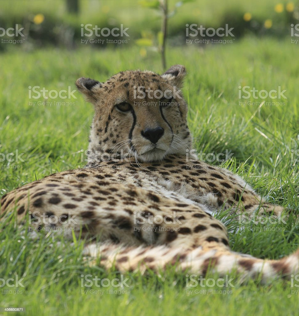 Cheetah Lying Down stock photo