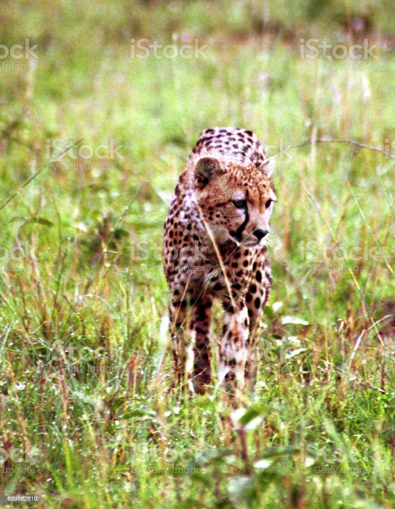 Cheetah, Maasai Mara Game Reserve, Kenya stock photo