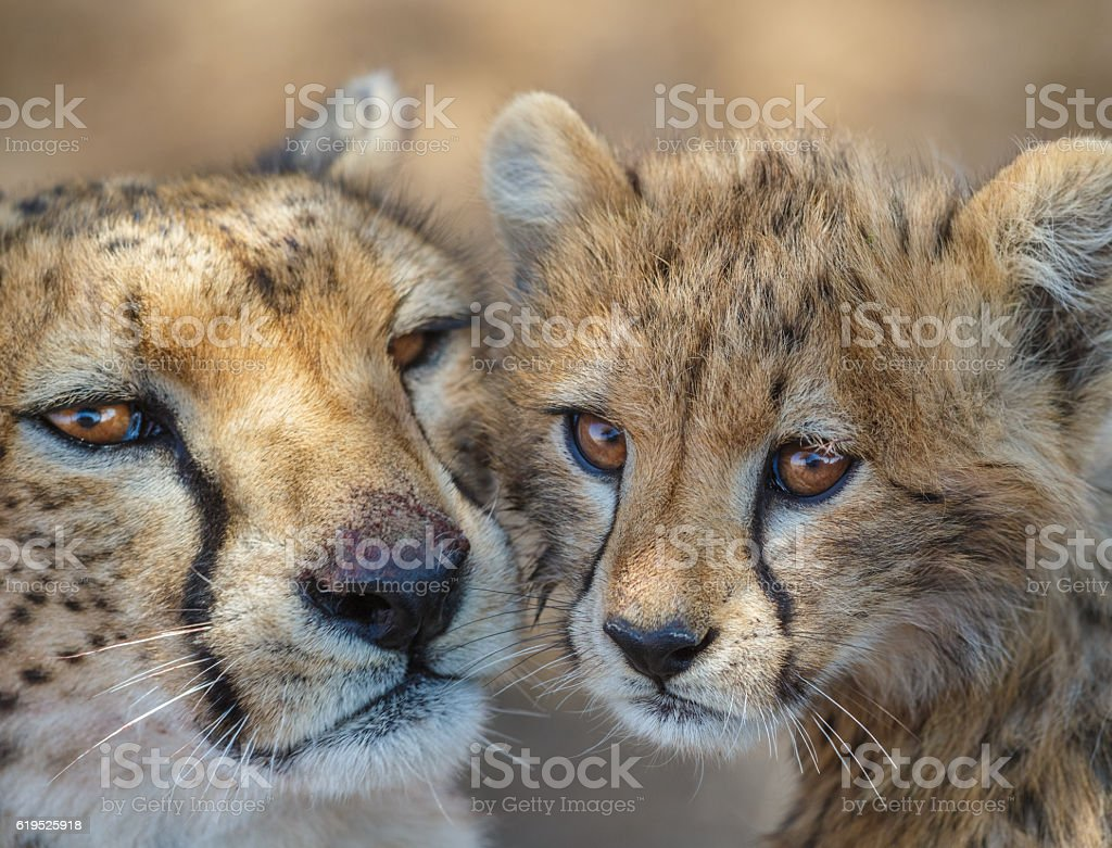 Cheetah Mother and cub, Serengeti National Park, Tanzania Africa stock photo
