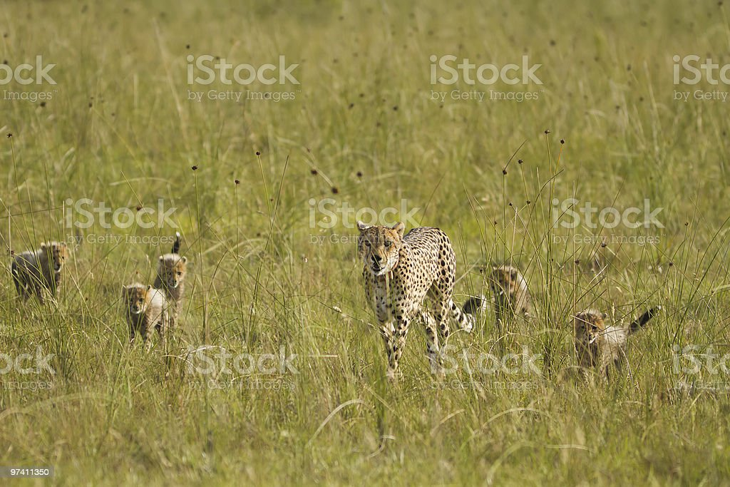 Cheetah mother and her cubs royalty-free stock photo