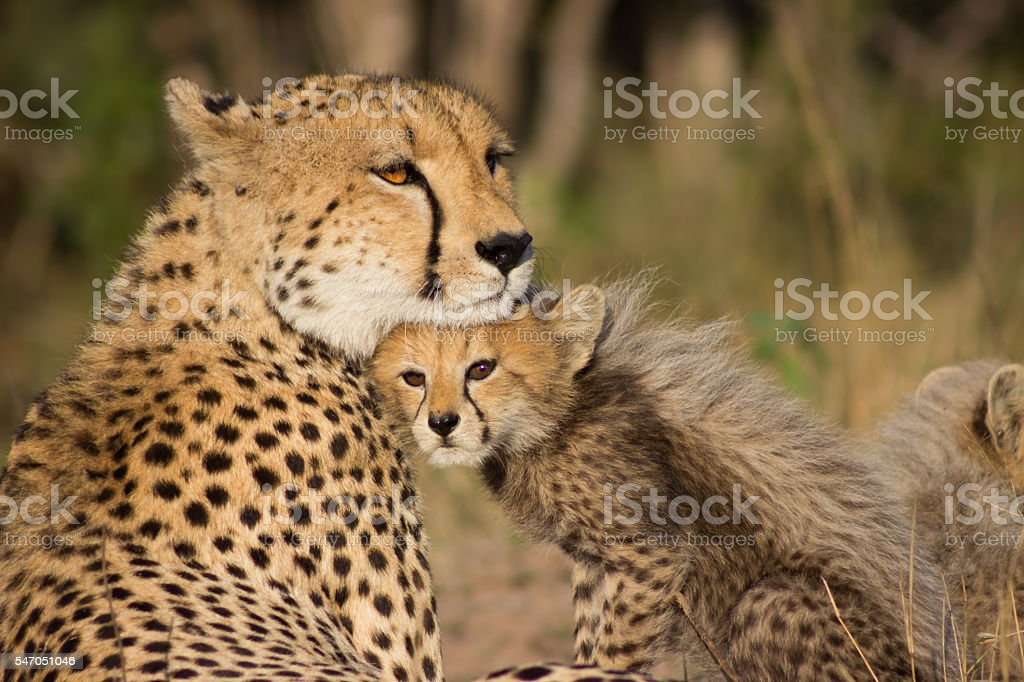 Cheetah Mother stock photo