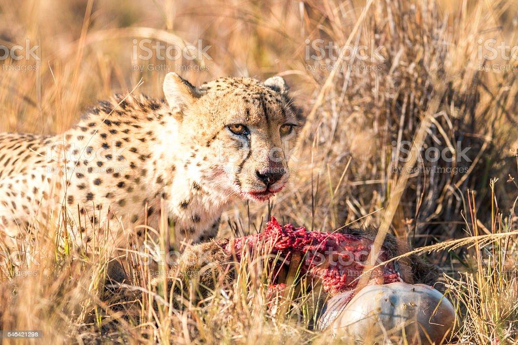 Cheetah on a Reedbuck kill. stock photo