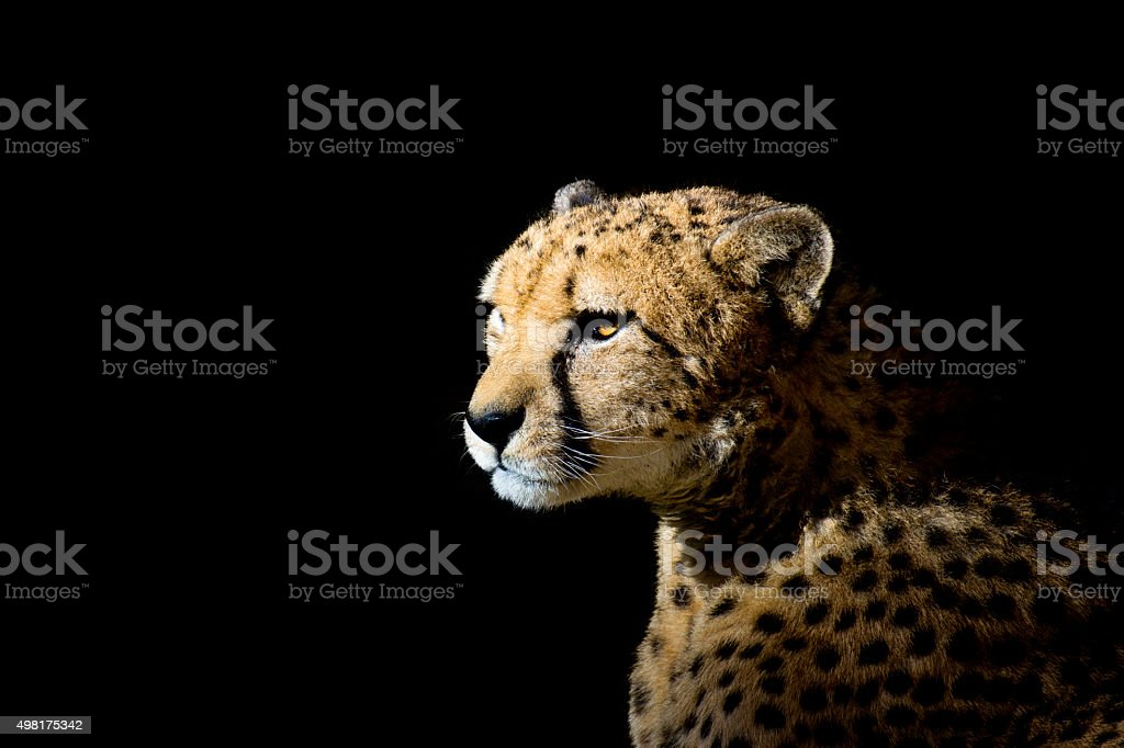 Cheetah on black background stock photo