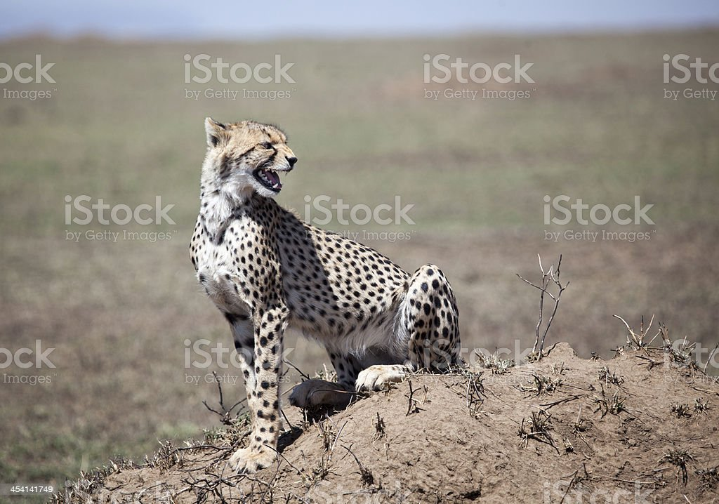 Cheetah on termite mound royalty-free stock photo