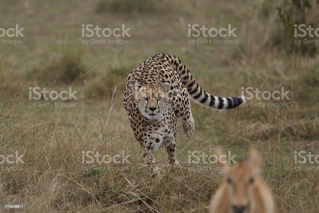 Cheetah on the hunt royalty-free stock photo