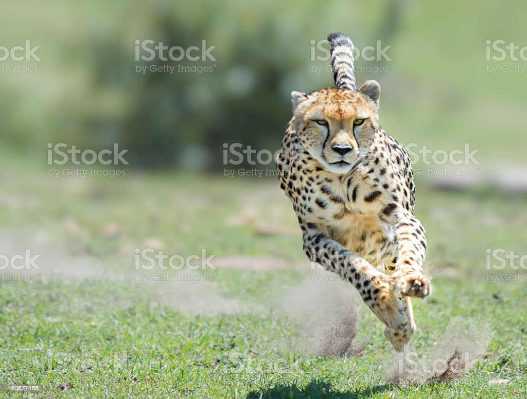 Cheetah on the hunt stock photo