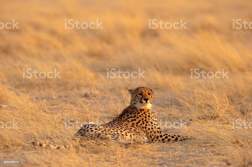Cheetah on the plain, Etosha National Park, Namibia stock photo