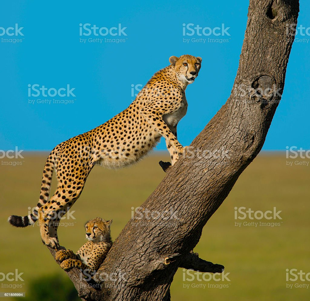 Cheetah on the Watch stock photo