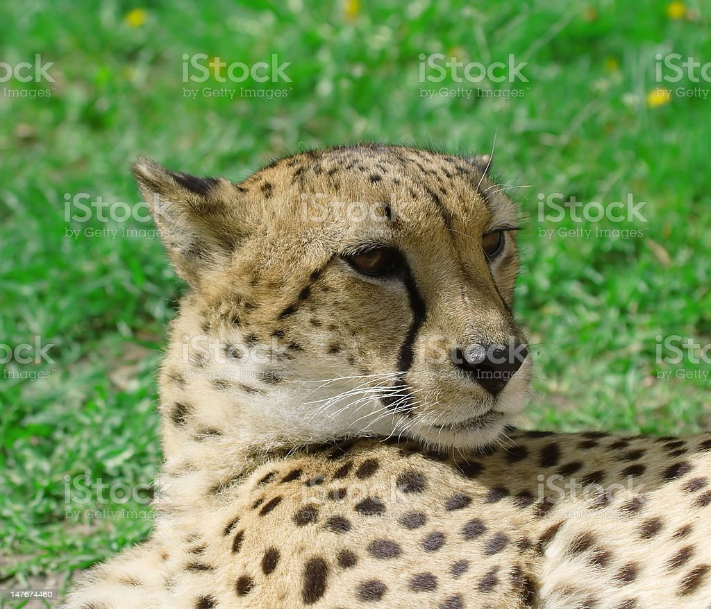 Cheetah over the grass background royalty-free stock photo