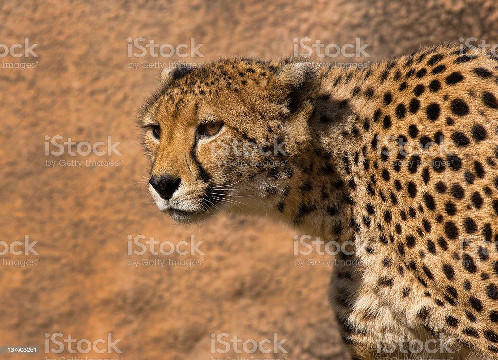 Gepard zbiór zdjęć royalty-free