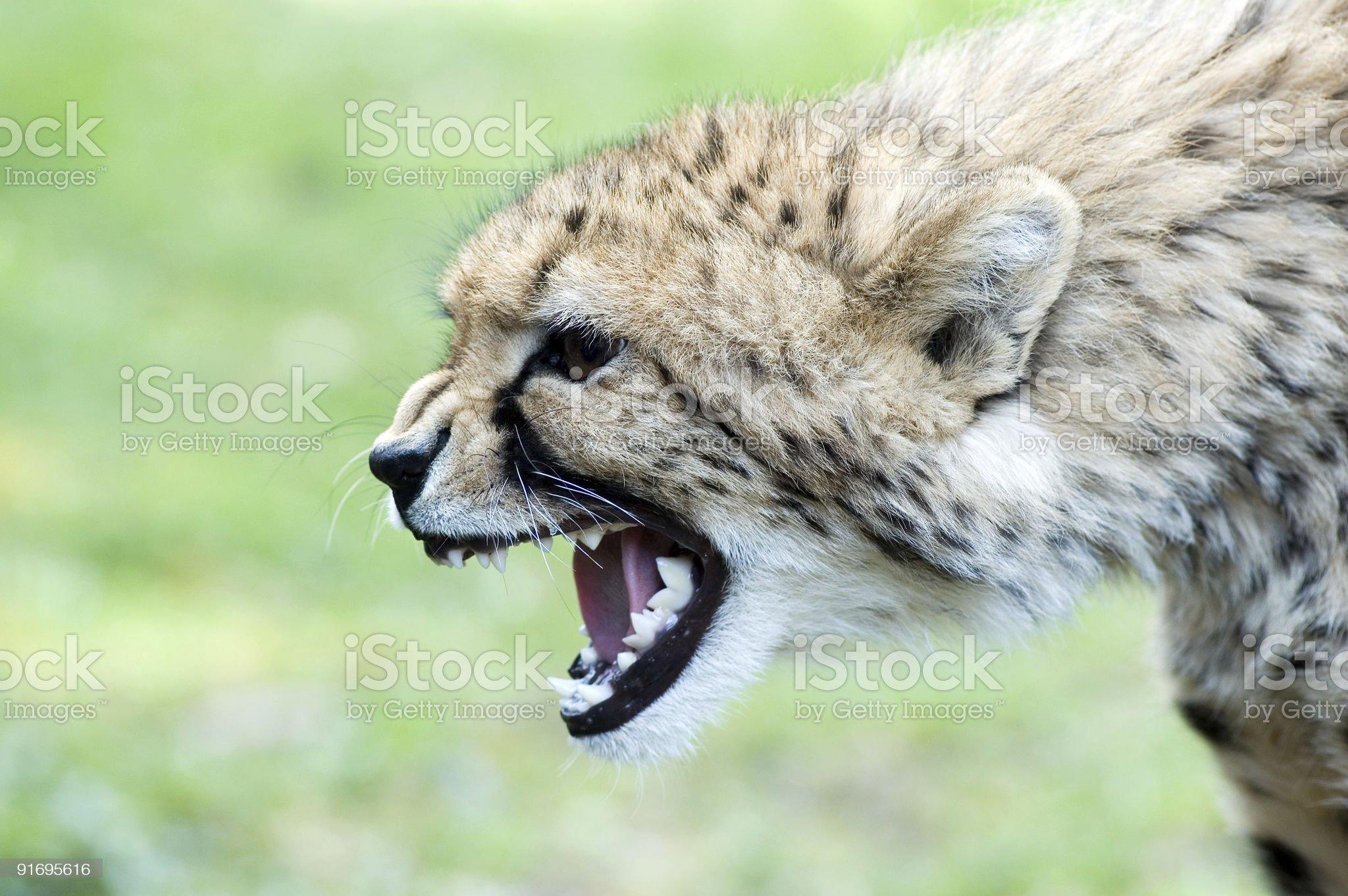 cheetah royalty-free stock photo