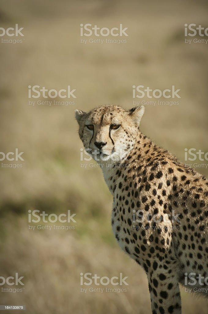 Cheetah Portrait royalty-free stock photo
