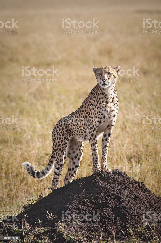 Cheetah Portrait royalty-free stock photo