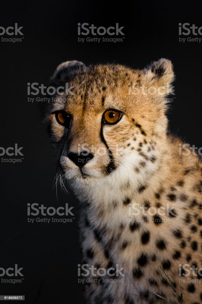 Gepard Portrait stock photo