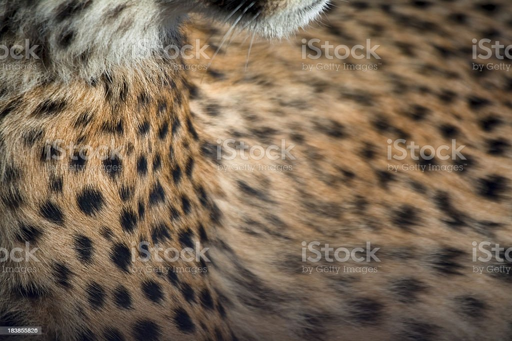 Cheetah Print stock photo