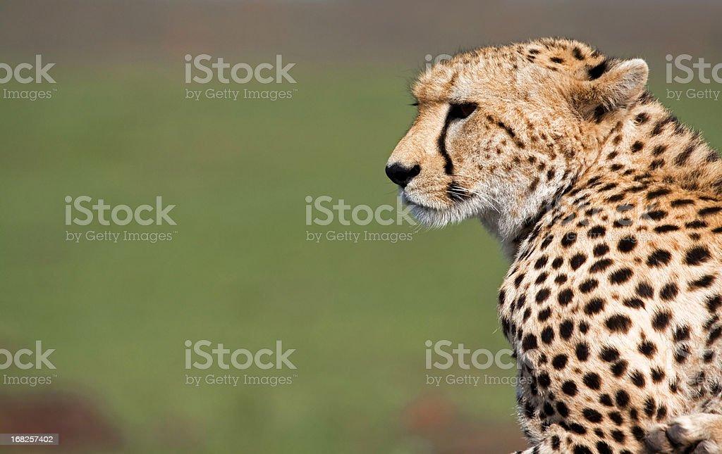 Cheetah profile stock photo