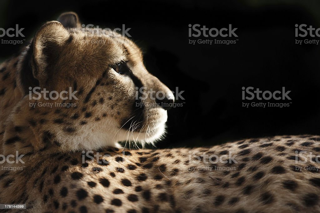 Cheetah profile stock photo