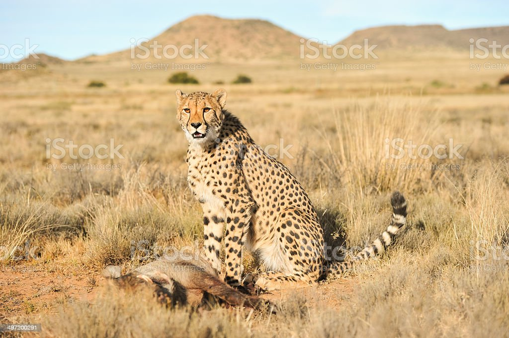 Cheetah protecting its meal royalty-free stock photo