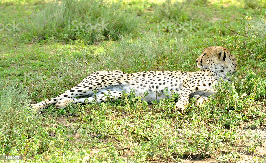 Cheetah resting in the shade royalty-free stock photo