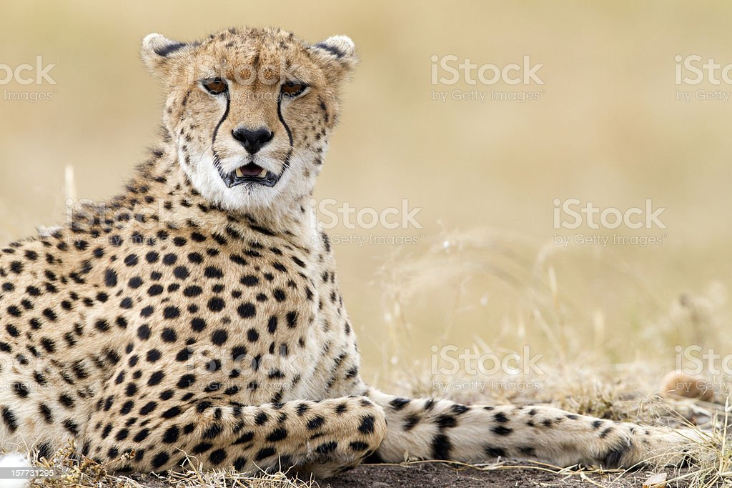Cheetah resting, Masai Mara Park, Kenya stock photo
