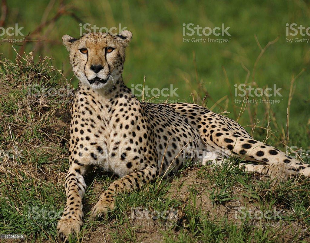 Cheetah resting stock photo