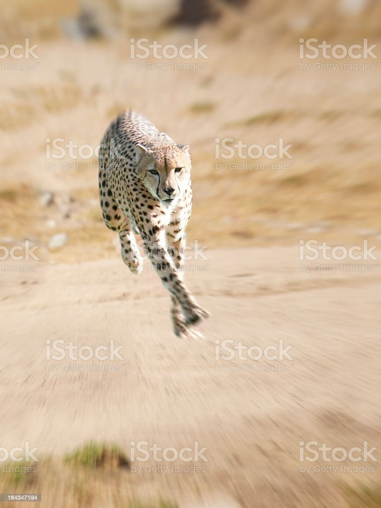 Cheetah Running stock photo