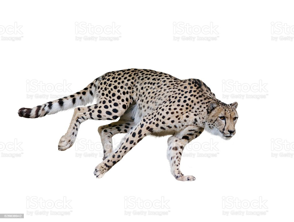 Cheetah (Acinonyx jubatus) Running stock photo