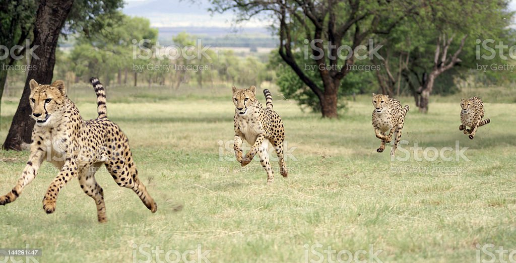 Cheetah running sequence stock photo