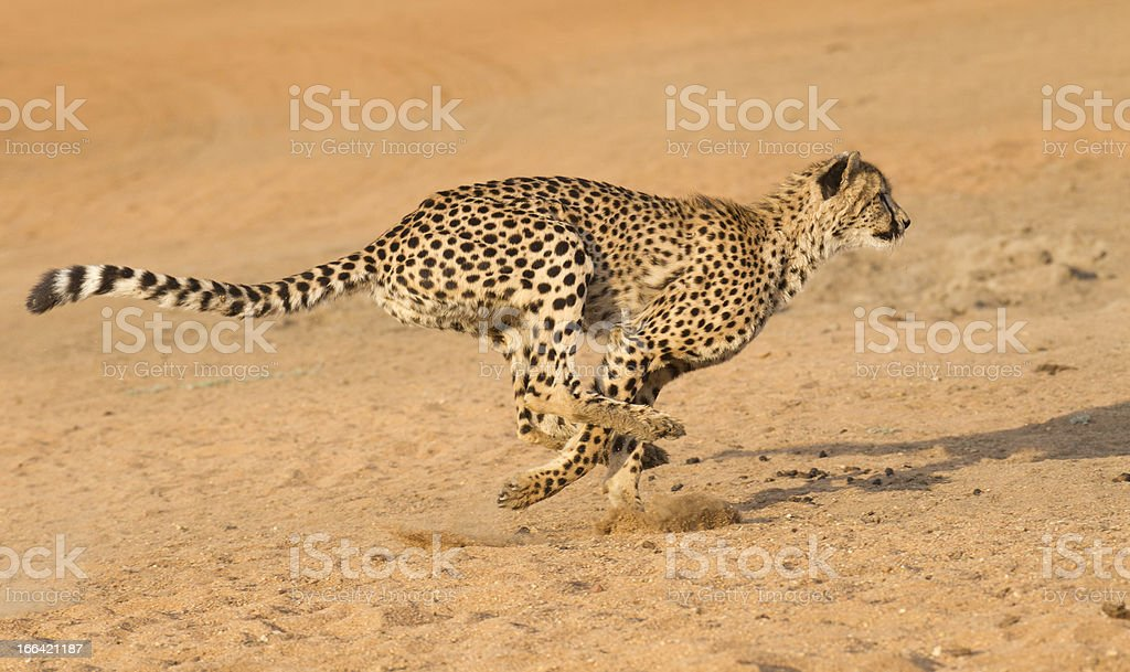 Cheetah running, (Acinonyx jubatus), South Africa stock photo