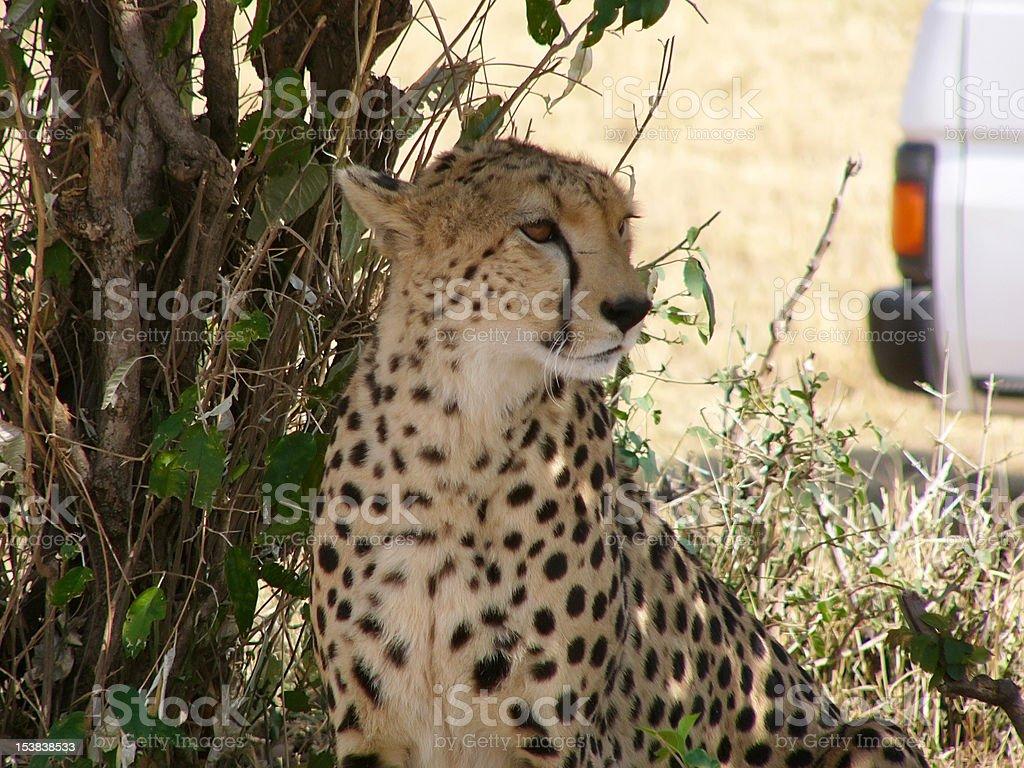 cheetah safari in Kenya royalty-free stock photo