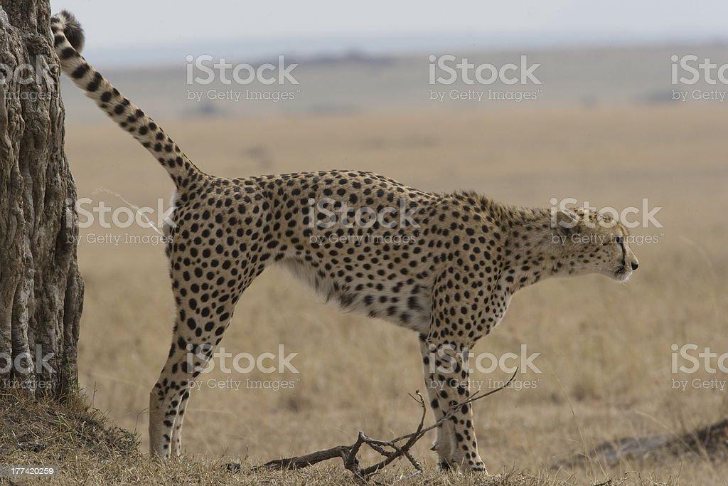 Guépard parfum marquant du Masaï Mara photo libre de droits