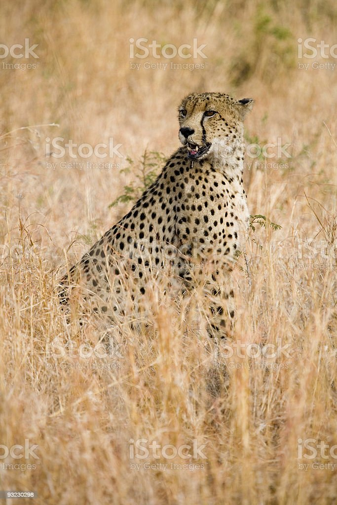 Cheetah sitting in the grass stock photo