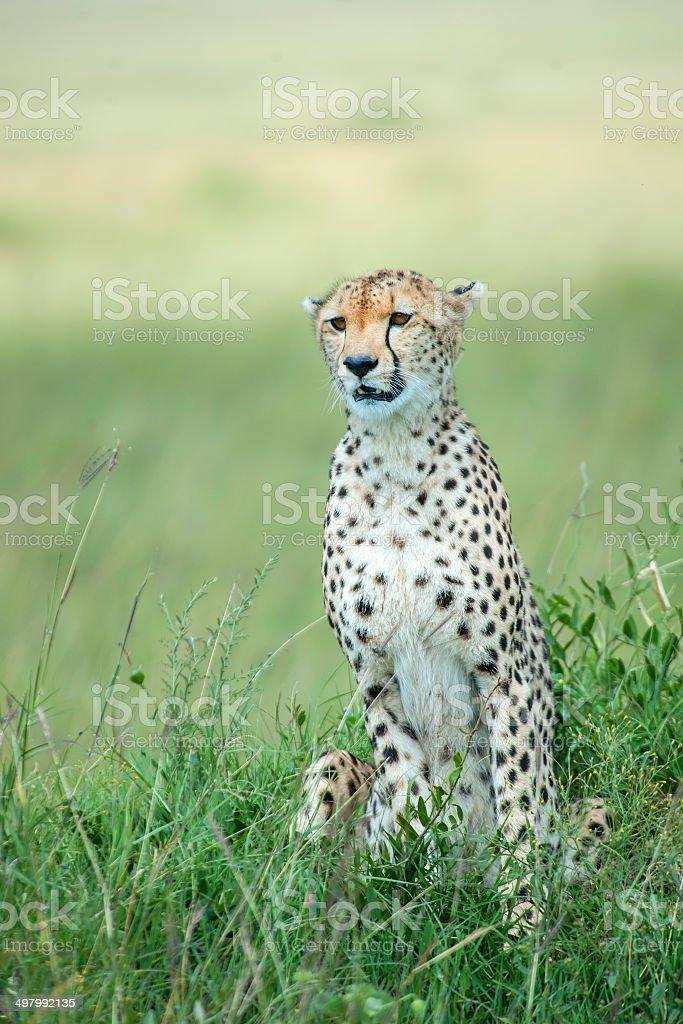 Cheetah sitting in the green plains, Masai Mara, Kenya stock photo