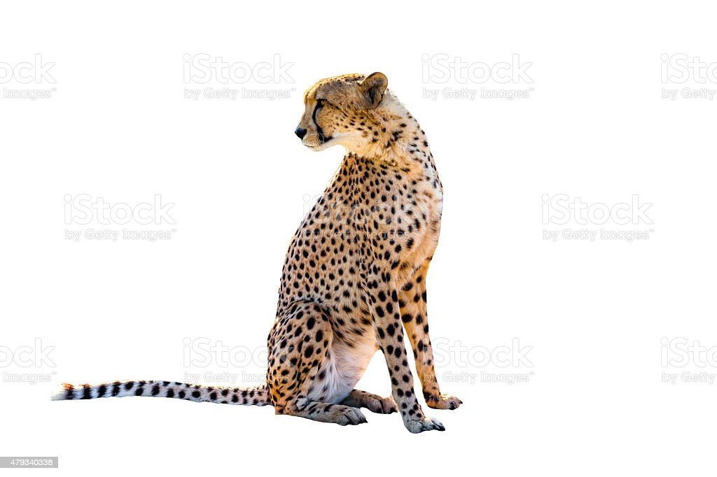 Cheetah sitting stock photo