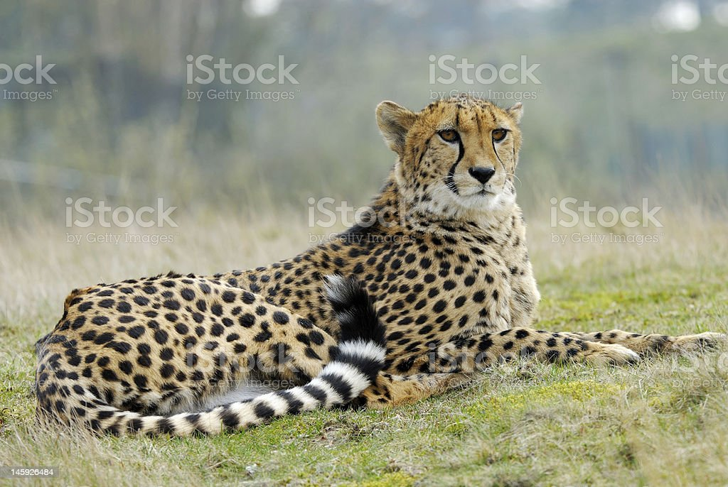Cheetah sitting with a regal pose stock photo